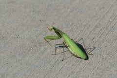 看在它的肩膀的螳螂 库存照片