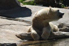 看在放置的北极熊在岩石附近 库存照片