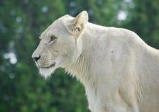 看在旁边在领域的一头白色狮子的图象 免版税库存照片