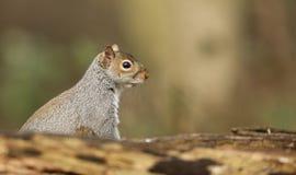看在日志的一好奇灰色灰鼠Scirius carolinensis 库存照片
