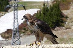 看在松鸡山的猎鹰的正面图在温哥华,加拿大 库存照片