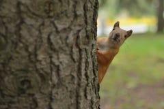 看在树外面的好奇灰鼠在公园 免版税库存照片