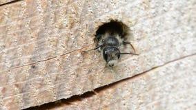看在树干的一个孔外面的孤零零狂放的蜂Osmia bicornis 昆虫旅馆 影视素材