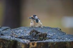 看在树桩的啄木鸟 免版税库存照片