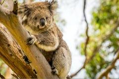 看在树的好奇考拉 免版税库存照片