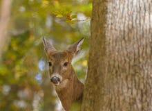 看在树附近的母鹿画象 库存照片