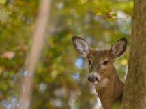 看在树附近的母鹿画象 库存图片