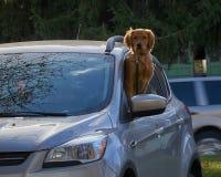 看在汽车外面的金毛猎犬 免版税库存照片