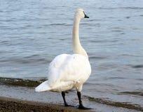看在湖的天鹅 图库摄影