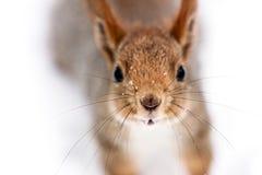 看在照相机特写镜头的滑稽的好奇小的灰鼠 免版税库存图片
