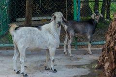 看在照相机的两块年轻山羊withs小垫铁 免版税图库摄影