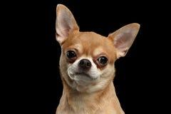 看在照相机的奇瓦瓦狗狗特写镜头画象隔绝了黑色 库存图片