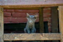看在照相机的灰色小猫 免版税库存图片