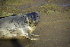 看在照相机的灰色海狮幼崽 免版税库存图片