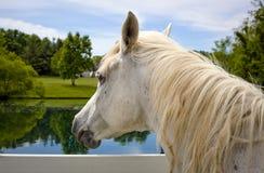 看在牧场地的白色阿拉伯马 免版税图库摄影