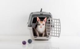 看在白色桌上的箱子外面的好奇康沃尔雷克斯猫与反射 白色墙壁背景 作为玩具的小的球在b 免版税库存照片