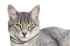 看在白色背景的灰色,绿眼的猫照相机 免版税库存照片
