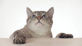看在白色背景股票英尺长度录影的特写镜头附近的美丽的泰国猫 股票录像