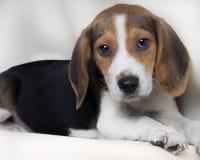看在白色bakcground的小猎犬狗照相机 库存照片