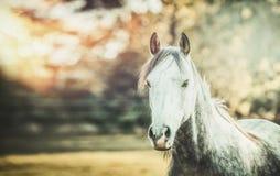看在秋天自然背景的灰色马照相机 免版税库存图片