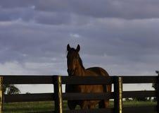 看在篱芭的布朗纯血种马-水平 免版税库存照片