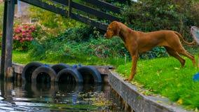 看在羊角村水道的狗水在荷兰 库存照片