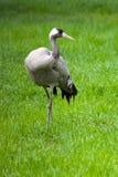 看在草地早熟禾的灰色起重机 免版税库存图片