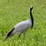 看在草地早熟禾的灰色起重机 免版税图库摄影