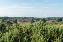 看在荷兰欧石南丛生的荒野上的金雀花灌木 库存照片