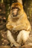 看在萨利姆,德国的猴子 免版税库存图片