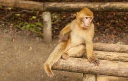 看在萨利姆,德国的猴子 免版税库存照片