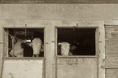 看在谷仓外面的母牛 库存图片