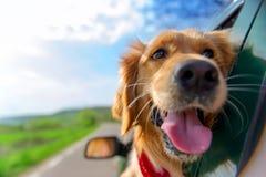 看在车窗外面的金毛猎犬 免版税库存照片
