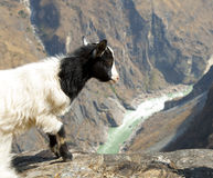 看在边缘的山羊 图库摄影