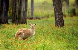 看在野花附近的领域的红色袋鼠 库存照片
