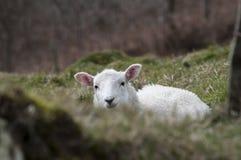 看在银行的羊羔 库存图片