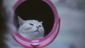 看在镜子的猫反射 股票视频
