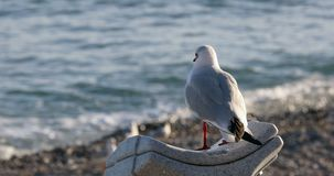 看在闪耀的海的海鸥鸟 股票录像