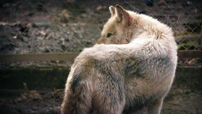看在阳光的狼 股票录像