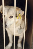 看在风雨棚笼子, sa的白色逗人喜爱的小狗的哀伤的看的眼睛 库存照片