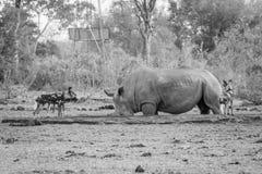 看在黑白的非洲豺狗一头白色犀牛 免版税库存照片