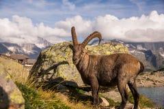 看在Altitude湖前面的照相机和岩石的野生高地山羊在一个晴天 免版税库存图片