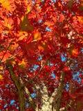 看在autum的一个美丽的五颜六色的橡树 免版税库存图片