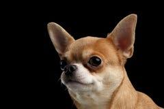 看外部的奇瓦瓦狗狗特写镜头画象隔绝在黑色 免版税库存图片
