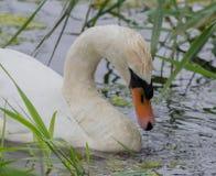 看天鹅的头下来,当哺养时 免版税图库摄影