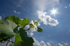 看太阳的葡萄叶子 免版税库存照片