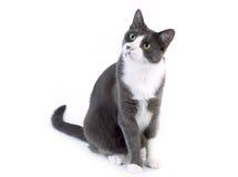 看在白色背景的灰色猫 免版税库存图片