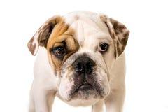 看好奇照相机的幼小矮小的法国牛头犬崽狗 免版税库存图片