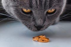 看婚戒的猫 免版税图库摄影