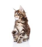 看嬉戏的缅因浣熊的小猫  查出在白色 免版税库存图片